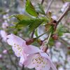 美瑛の丘は桜が満開
