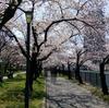 2019年4月上旬、大川の桜が7分咲きで綺麗だった【大阪府大阪市都島区】