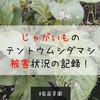 【家庭菜園】ナス科野菜が狙われている!?じゃがいものテントウムシダマシ被害状況を記録してみた!