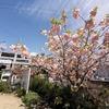 神戸)都賀川散歩。八重桜満開。