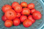 露地トマト