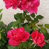 川越の薔薇