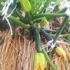 5月20日家の家庭菜園「きゅうりの育て方その3」