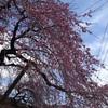 神山町の枝垂れ桜が美しかった