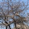 桜、週末はそろそろ見ごろでしょうか