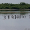 ベリーズ クルックドツリー野生生物保護区の鳥たち