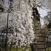 上賀茂神社で桜いろいろ@2019