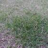 芝生に謎の雑草が!その衝撃的な正体とは?