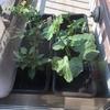 はじめてのベランダ家庭菜園