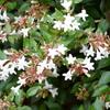 アベリア(Abelia)の白い花から吸蜜するクマバチ