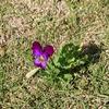 手賀沼付近に咲いていたスミレ