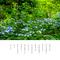紫陽花の 小さな花と 森の囁き
