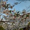 お花見にいってきました@大阪城公園