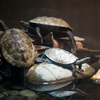 ニホンイシガメ Mauremys japonica