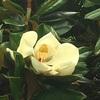 タイサンボクの花と実