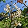 サルスベリ 白花咲く