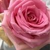 "【庭】Rosa.min "" Nova """