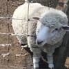 伊香保グリーン牧場(ひつじ)|動物とふれあえる!おすすめの観光牧場:群馬県渋川市