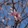十月桜【奥宇辰山県民公園】