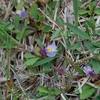 *同じ頃に咲く紫の花...どちらも島では一カ所だけ。