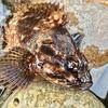 Light Rockfish #49