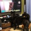 甲斐犬は視覚ハウンドかどうか、の巻〜_φ( ̄ー ̄ )メモメモ……