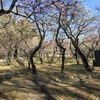 観梅(今年は梅の花は遅い)
