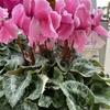 冬を華やかに彩る鉢花の女王  シクラメンとクリスマスツリー
