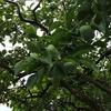 柿が青々と
