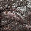 【目黒川】中目黒の桜 開花状況【2017年3月31日】