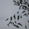 南三陸への旅3(ラムサール湿地登録地・志津川湾ーコクガンを訪ねて)