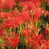 まるで深紅の絨毯!曼珠沙華の名所を訪れて。