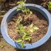 野菜(トマト)植えのその後