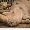 キタシロサイ「スーダン」の死とサイの密猟の惨状