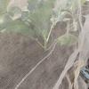 ブロッコリーも定植!早くも実をつけてます