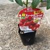 ミニトマト水耕栽培日記1 ミニトマトを植えてから実がなるまで
