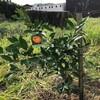 柑橘類、梅、山椒の木を植えた。