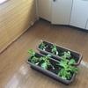 室内で野菜を育てる計画が早くも暗礁に乗り上げた