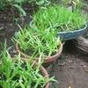 鷺草の鉢植えをひとつ養子に出した