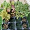 今年育てる野菜の苗