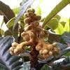 ビワ(枇杷)の花芽