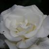 2014/05/24 こういうの見ると白バラって素敵!オナー