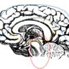 【困った時に固まる、言葉が出ない】脳の働きから理解する対応のヒント