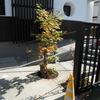 我が家のシンボルツリーは落葉樹