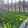 刺巻の水芭蕉群生地