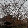 うちのあたりでは桜が咲きません。今は耐えるとき。