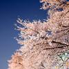 一目千本桜 暗闇の夜桜