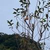 種残す鴉の嘴の柿さばき