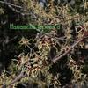 マンサク 万作  Hamamelis japonica