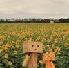 南幌町 初秋に広がるひまわり畑